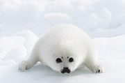 Y120817 Art - Whitecoat Harp Seal Pup by Daisy Gilardini