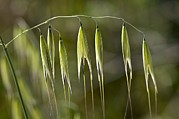 Oat Photos - Wild Oat (avena Fatua) by Paul Harcourt Davies
