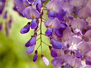 Fragrant Pyrography Prints - Wisteria Print by Imagevixen Photography