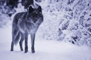 Nocturnal Animal Prints - Wolf Print by Don Hammond