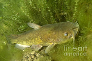 Catfish Photos - Yellow Bullhead Catfish by Ted Kinsman