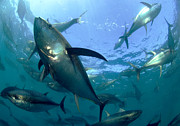 Yellowfin Tuna Prints - Yellowfin Tuna Print by Louise Murray