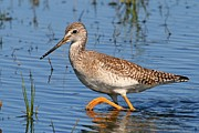 Greater Antilles Posters - Yellowlegs Poster by Ira Runyan