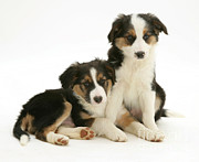 Border Collie Photos - Border Collies by Jane Burton