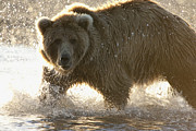 Featured Art - Grizzly Bear Ursus Arctos Horribilis by Matthias Breiter