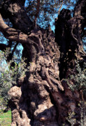 Olive Oil Photo Prints - 2000 year old Olive Tree Print by Thomas R Fletcher