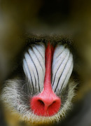 Mandrill Prints - 2106 Print by Peter Holme III