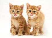 Kittens Print by Jane Burton