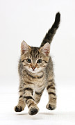 Jump Shot Posters - Tabby Kitten Poster by Mark Taylor