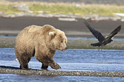 Crow Image Photos - Grizzly Bear Ursus Arctos Horribilis by Matthias Breiter