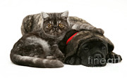 English Mastiffs Photos - Kitten And Puppy by Jane Burton