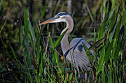 Florida Gators Posters - 25- Great Blue Heron Poster by Joseph Keane