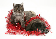 Brindle Photo Posters - Kitten And Puppy Poster by Jane Burton