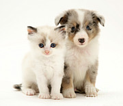 Sable Sheltie Posters - Kitten And Puppy Poster by Jane Burton