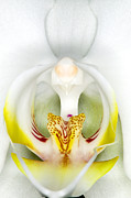 Exotic Prints - Exotic Orchids of C Ribet Print by C Ribet