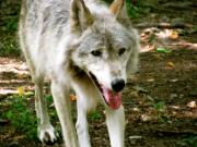 Pretty Markings On Wolf Prints - The Wild Wolve Group A Print by Debra     Vatalaro
