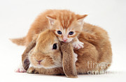 Lop Prints - Kitten And Rabbit Print by Jane Burton