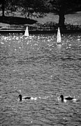 Park Scene Digital Art Prints - 2BOATS2DUCKS in BLACK AND WHITE Print by Rob Hans