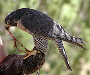 Peregrine Falcon Beautiful Wildlife Wings Beak Eye Bird Birds Predator Nature  Framed Prints -  Peregrine Falcon Framed Print by LeeAnn McLaneGoetz McLaneGoetzStudioLLCcom