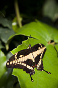 Papilio Thoas Framed Prints - A Butterfly Rests On A Leaf Framed Print by Taylor S. Kennedy