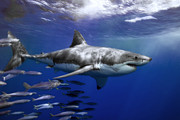 Great White Death Framed Prints - A Great White Shark Swims In Clear Framed Print by Mauricio Handler