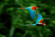 Bonding Metal Prints - A Mated Pair Of Red-and-green Macaws Metal Print by Joel Sartore