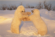 Snow Scenes Prints - A Pair Of Polar Bears, Ursus Maritimus Print by Norbert Rosing