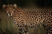Acinonyx Photos - A Portrait Of An African Cheetah by Chris Johns