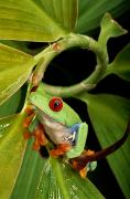 Chromatic Contrasts Prints - A Red-eyed Tree Frog Agalychnis Print by George Grall