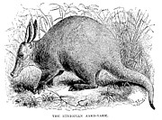 1876 Framed Prints - Aardvark Framed Print by Granger