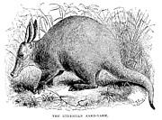 Aardvark Print by Granger