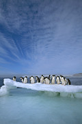 Antarctic Ocean Prints - Adelie Penguin Pygoscelis Adeliae Group Print by Tui De Roy