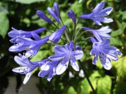 Steel Greeting Cards Framed Prints - Agapanthus Blue Framed Print by J McCombie