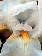 White Unicorn Photos - Alabaster Bearded Iris by Racquel Morgan