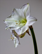 Flower Pyrography - Amaryllis 2 by Robert Ullmann