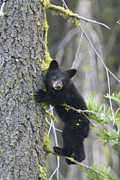 Black Bear Climbing Tree Posters - American Black Bear Ursus Americanus Poster by Rich Reid