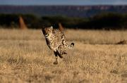 Jubatus Posters - An African Cheetah Acinonyx Jubatus Poster by Chris Johns