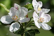 Jem Fine Arts Photos - Apple Blossom by J McCombie