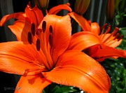 Brunello Art - Asiatic Lily named Brunello by J McCombie