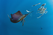 Schools Framed Prints - Atlantic Sailfish Istiophorus Albicans Framed Print by Pete Oxford