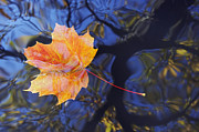 Tree Leaf Prints - Autumn Leaf On The Water Print by Michal Boubin