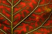 Internal Changes Prints - Backlit Close Up Of A Smoke Tree Leaf Print by Joe Petersburger
