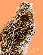 Nitrogen Posters - Bacteria On Sorghum Root Tip Poster by Science Source