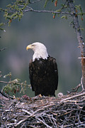 Animal Behaviour Art - Bald Eagle Haliaeetus Leucocephalus by Michael Quinton