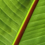 Green Foliage Photo Prints - Banana Leaf Print by Heiko Koehrer-Wagner
