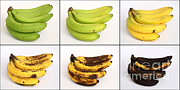 Overripe Prints - Banana Ripening Sequence Print by Ted Kinsman