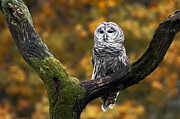 Cheryl Cencich Photography Framed Prints - Barred owl Framed Print by Cheryl Cencich