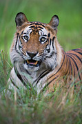 Endangered Cat Posters - Bengal Tiger Panthera Tigris Tigris Poster by Theo Allofs