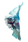 Betta Framed Prints - Betta Fish Framed Print by Visarute Angkatavanich