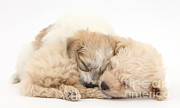 Sleeping Dog Prints - Bichon Frise & Yorkshire Terrier Print by Mark Taylor